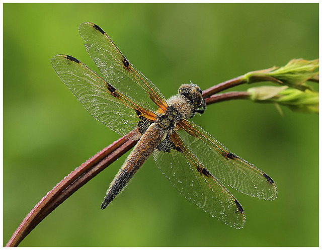 'Dewy' Four spotted Chaser (male) Westbere Lakes, 20/5/18