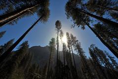 Pine Forest | Yosemite National Park, California
