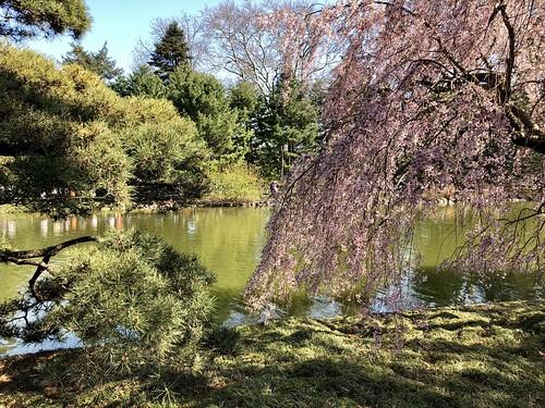 Sakura Matsuri Festival, Brooklyn Botanic Garden, April 2018