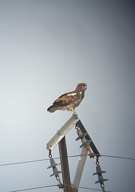 short-toed eagle April 2018