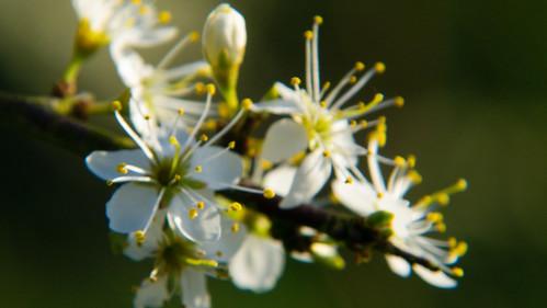 Blackthorn in full bloom, Barley Field