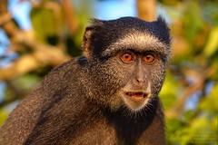 Blue Monkey (Cercopithecus mitis) Kissama, Angola 2018
