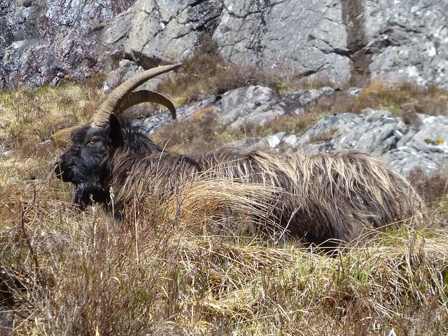 Wild Goat, Glen Strathfarrar, Panasonic DMC-TZ30