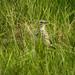 Hidden Meadow pipit