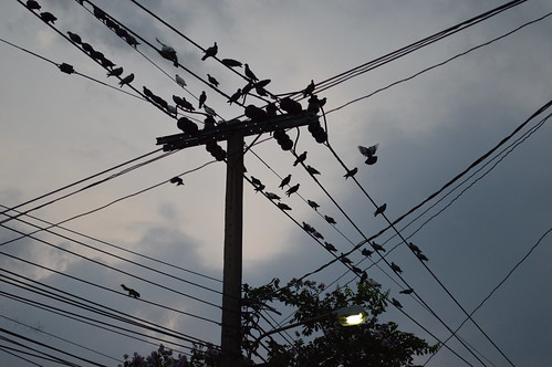 wires wildlife our neighborhood pigeons squirrel street light flying bangkhen bangkok thailand