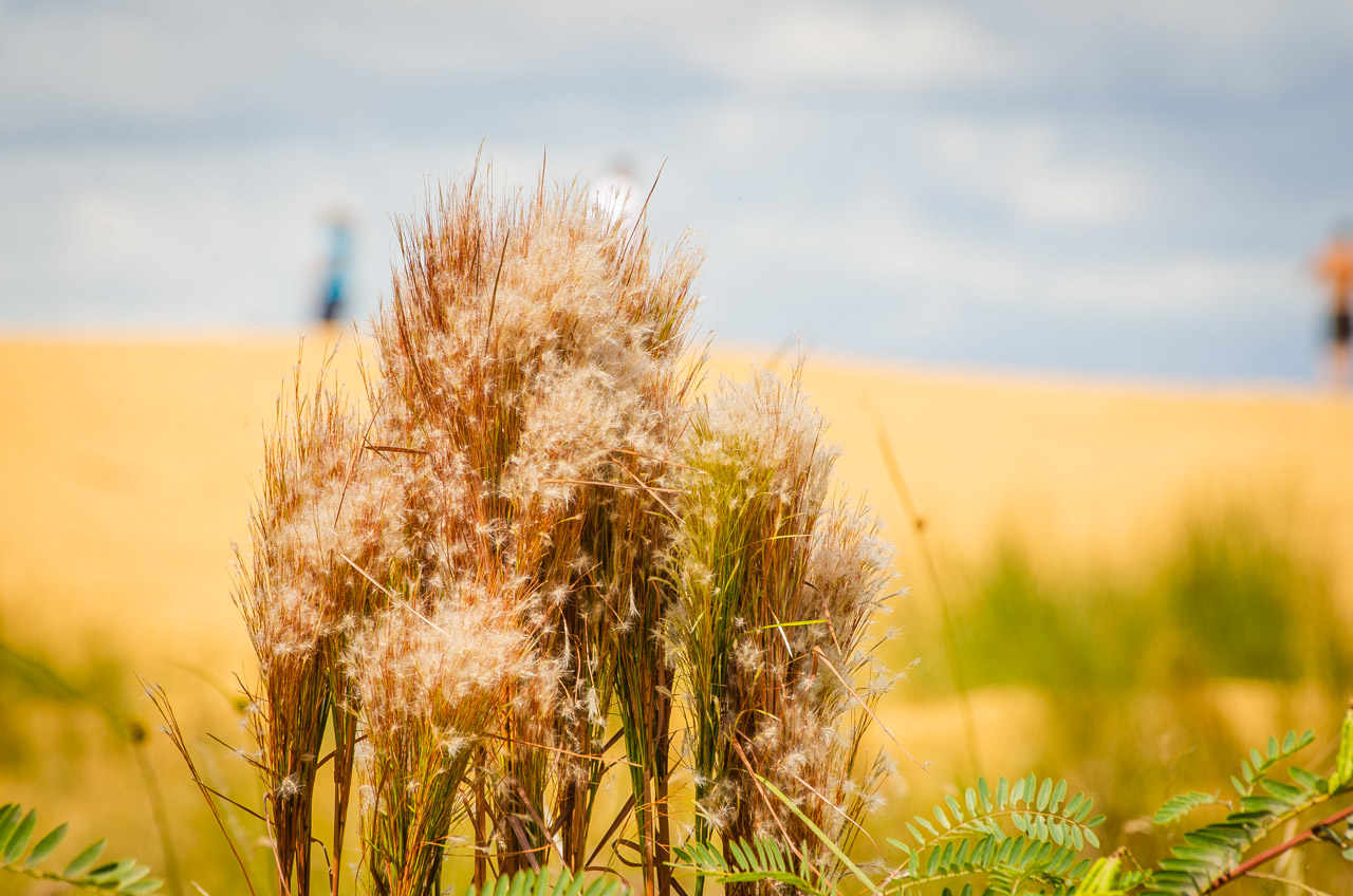 Flores de arbustos salvajes son vistas en las playas de las dunas de San Cosme y Damián, ubicado en el centro del río Paraná, en el departamento de Itapúa. (Elton Núñez).