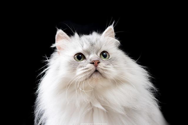 台北寵物攝影 到府拍攝 形象照 金吉拉