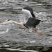 Flying Heron River Dee