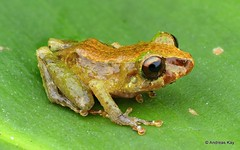 Rainfrog, Pristimantis sp.