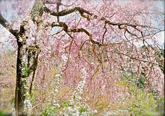 小さなハーフのフィルムカメラで。それは、君が居る、春の夢。