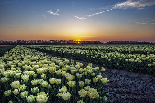 A journey full of tulips (revisited)