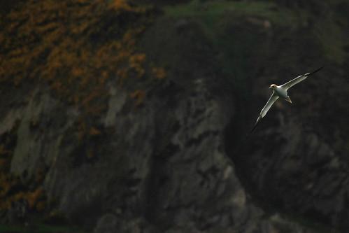 Gannet fishing over Cullen Bay