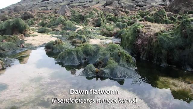 Dawn flatworm (Pseudobiceros hancockanus)