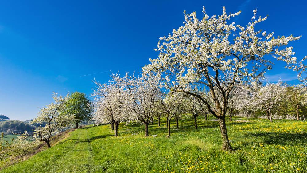Kirschblüte_Eggenertal_2_018