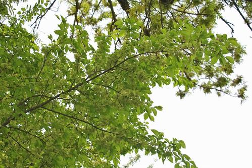 Ulmus minor (= Ulmus campestris) - orme champêtre et hybrides x hollandica  28252023898_1f0ec888c0
