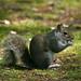 Grey Squirrel  25