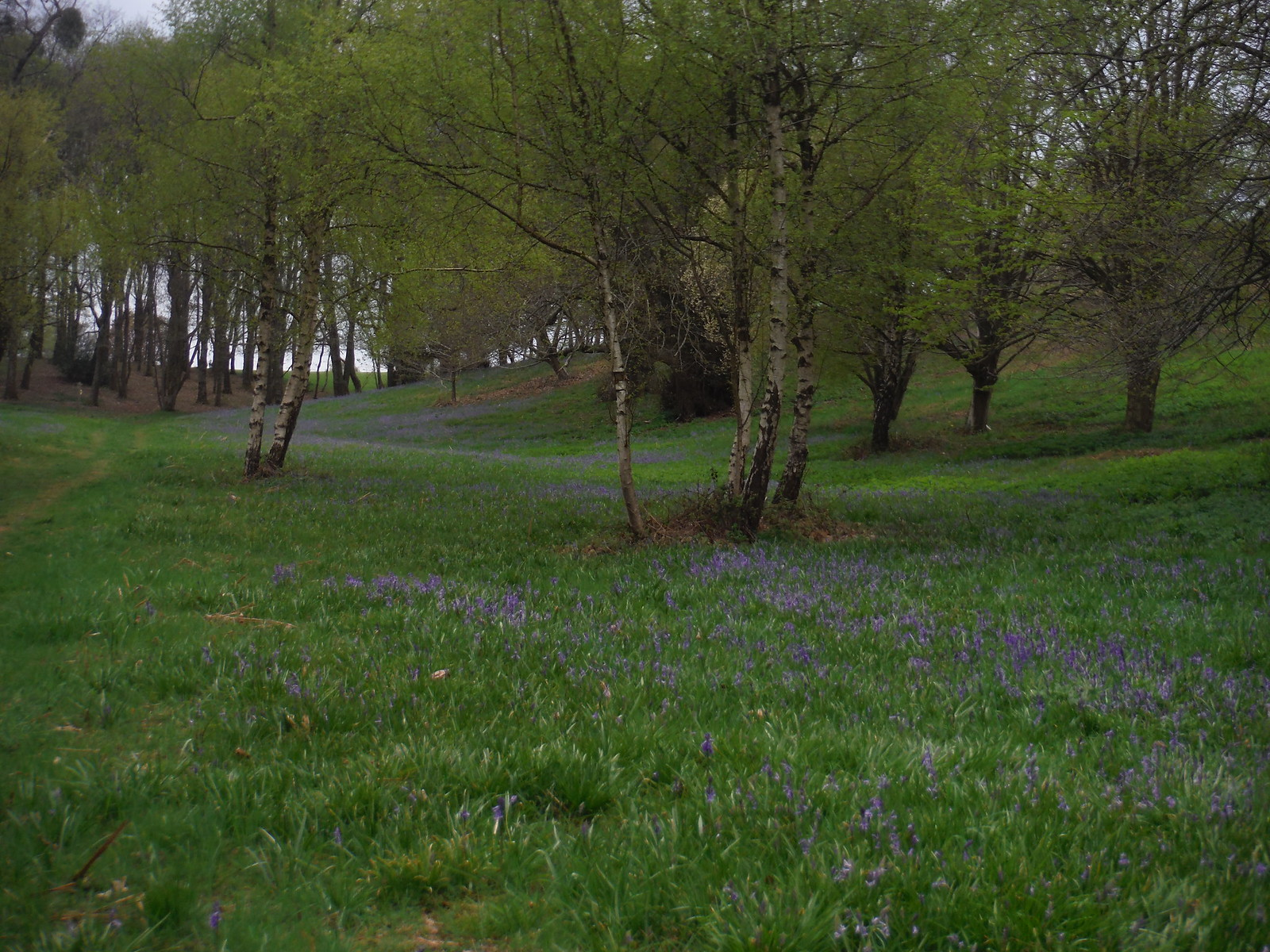 shallow valley (carpeted in bluebells SWC Walk 48 Haslemere to Midhurst (via Lurgashall or Lickfold)