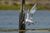 Elegant Tern (Thalasseus elegans), adult nonbreeding DSC_3902
