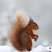 Red Squirrel (Jenny Thynne)