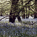 Bluebells in the forest with filter