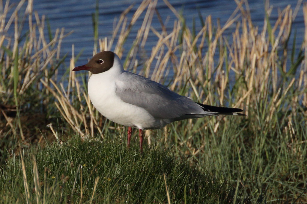 Balck-headed Gull