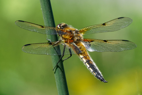 Dragonfly on reed (Libellula quadrimaculata)