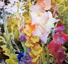 Gladiola Rainbow