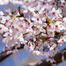 High Park Cherry Blossoms by _Chag