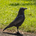Small photo of Crow