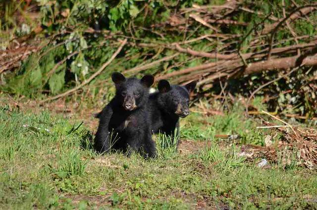 Baby bears on vacation