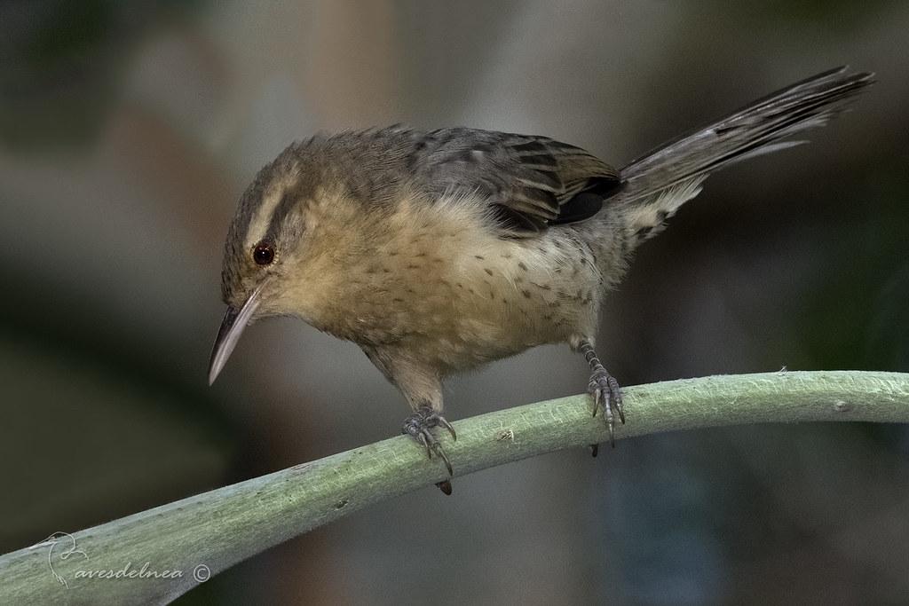 Ratona grande (Thrush-like Wren) Campylorhynchus turdinus