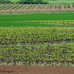 lignes de vignes - Photo of Trets