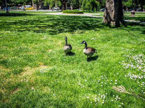 Canada Geese in Canada