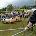 Sheep at the Highland Games