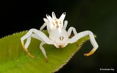 Crab Spider, Epicadus heterogaster, Thomisidae