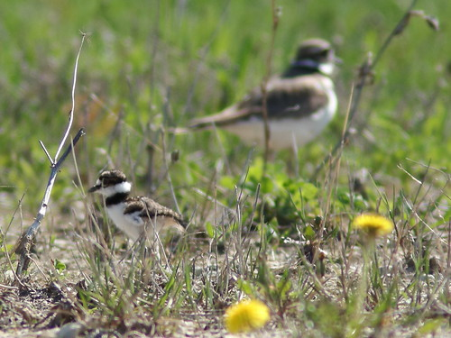 Killdeer with 1 chick 03-20180507
