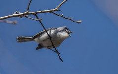 Gnatcatcher with Mouth Open