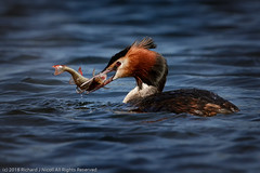 HolderGreat Crested Grebe (Podiceps cristatus) with prey