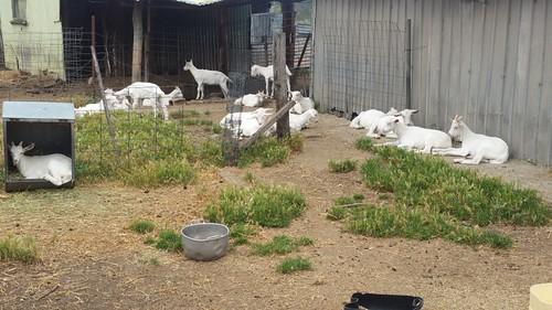 2017-12-22_1315.39_Goats