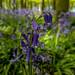 Bluebells at Ashridge-6