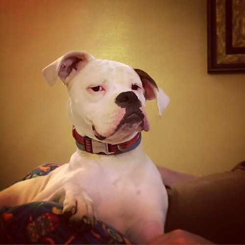 Sir Hops - The White Boxer