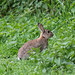 Rabbit in Weald Country Park
