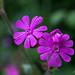 Purple Campion (Silene) 5997
