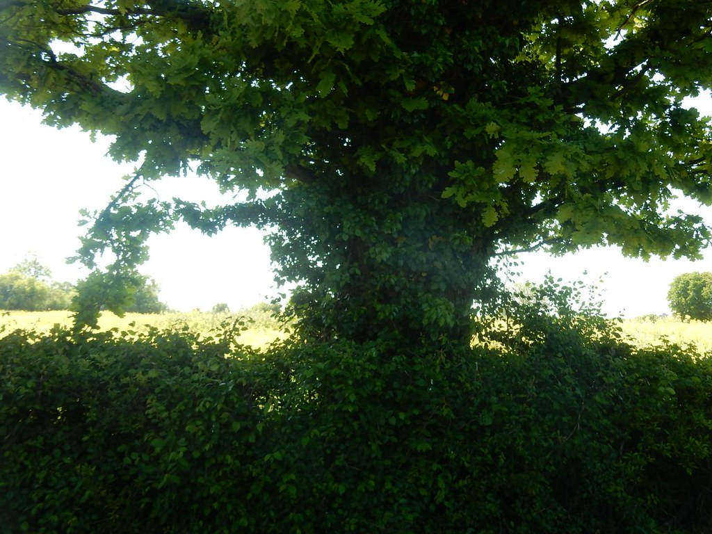 Tree with rapefield Roydon to Sawbridgeworth