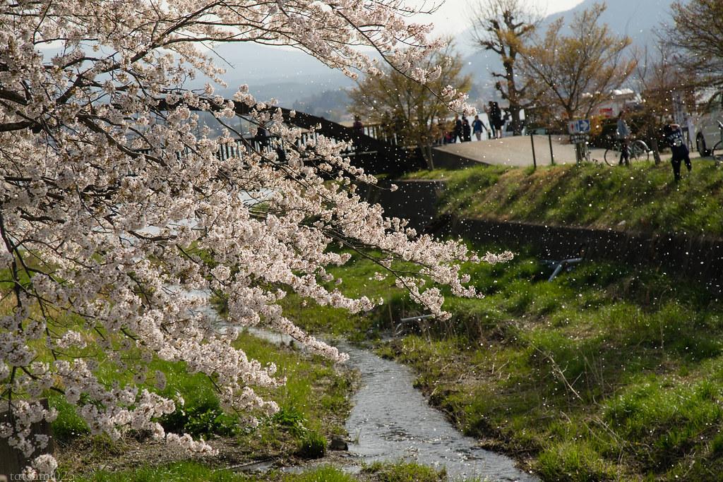 2018-04-13 河口湖の桜 006