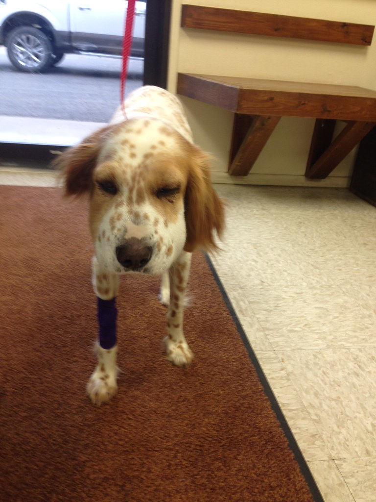 Rattlesnake vaccine and snake avoidance - Page 2 - Bird Dogs