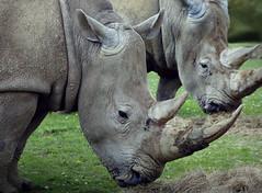Wrinkly Rhinos
