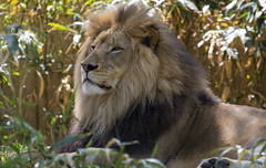National Zoo 3 May 2018  (908) African Lion