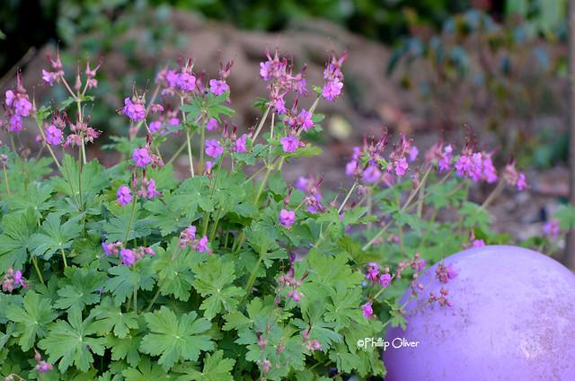 geranium-maculatum
