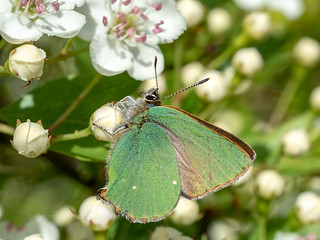 Green Hairstreak | by ArtFrames